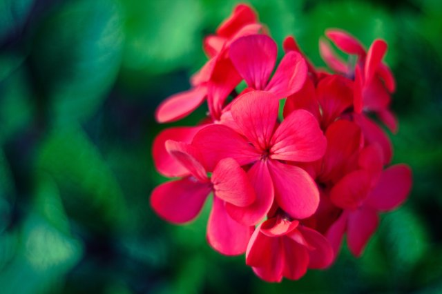geraniums-5530.jpg